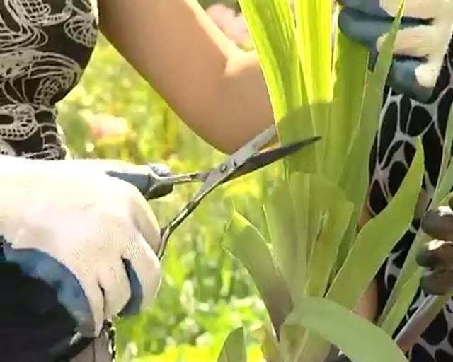 Как правильно обрезать каланхоэ и формировать красивый куст?