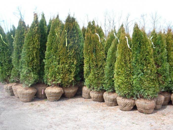 Выращивание туи — требования и уход