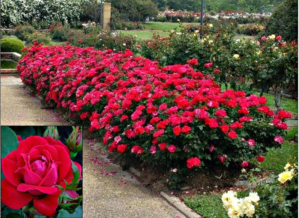 Описание садового сорта розы эбб тайд она же перпл эден из группы флорибунда