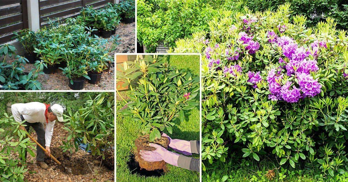 Азалия садовая — посадка и уход в открытом грунте