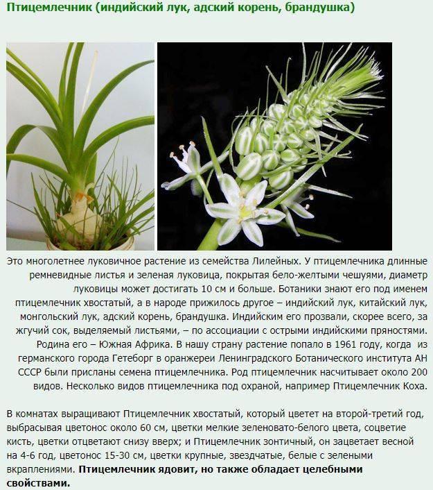 Индийский лук (птицемлечник хвостатый) как комнатное растение