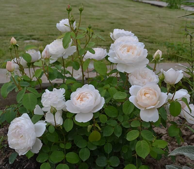 Роза клэр остин отзывы описание + фото