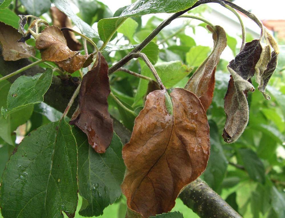 У декабриста опадают листья что делать