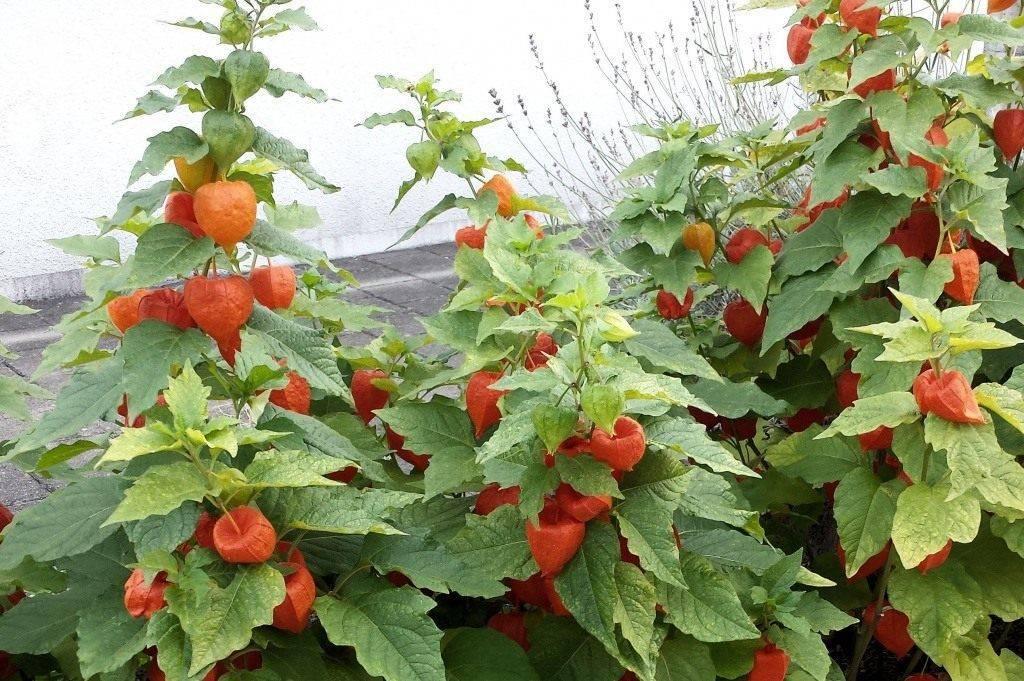 Выращивание съедобного физалиса: посадка на рассаду, уход в открытом грунте до урожая