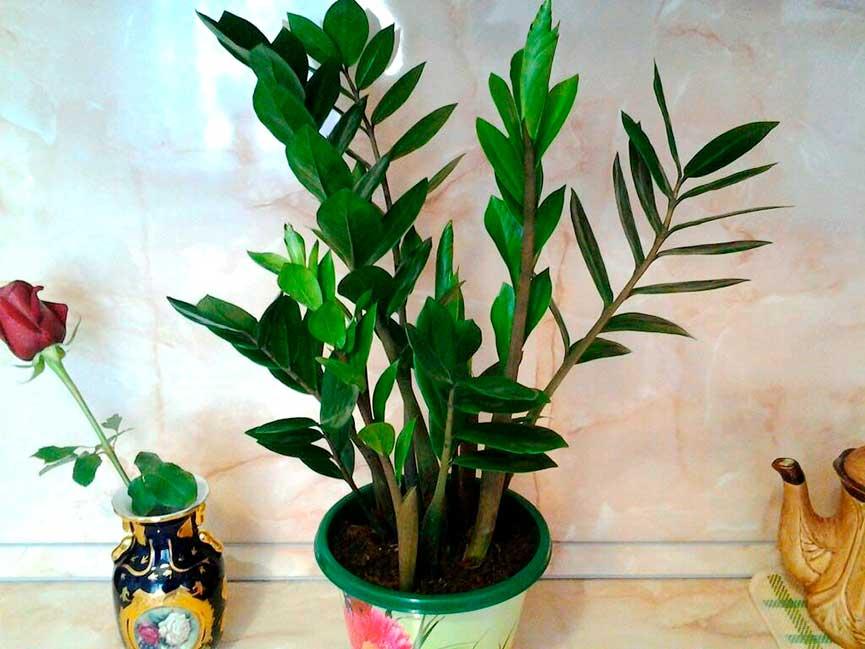 Как размножить замиокулькас долларовое дерево: листом или веткой