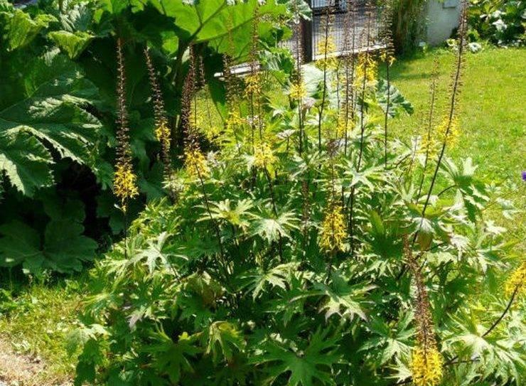Растение бузульник посадка и уход выращивание из семян размножение виды и сорта с фото