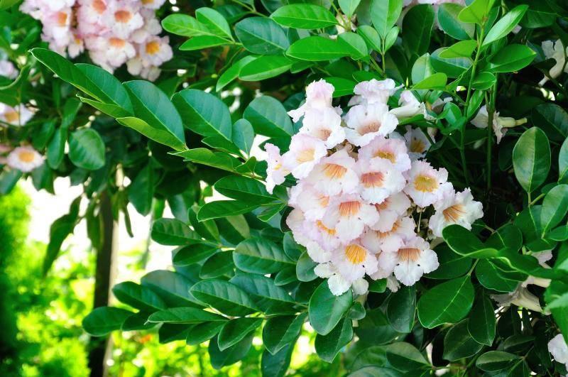 Цветок радермахера: особенности ухода за популярным комнатным растением