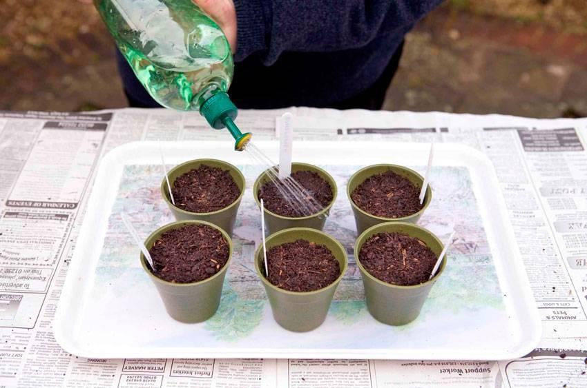 Годеция: выращивание из семян в домашних условиях