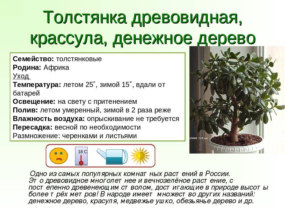 Комнатное растение традесканция: уход в домашних условиях, фото и полезные свойства