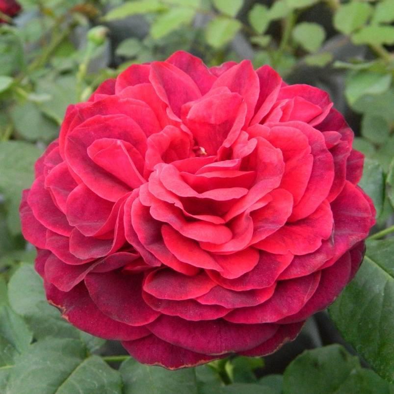 Описание канадской плетистой розы генри келси: как формировать парковый цветок