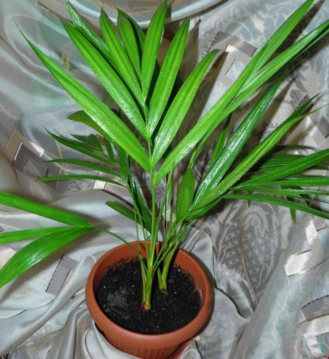 Уход и содержание пальмы хризалидокарпус в домашних условиях