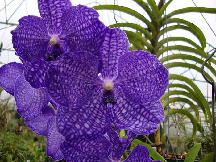 Орхидея ванда: уход в домашних условиях, пересадка, размножение, фото