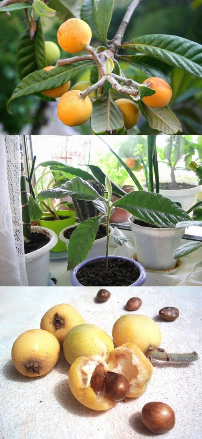 Фрукт мушмула: как вырастить в домашних условиях и в саду, фото, посадка и уход