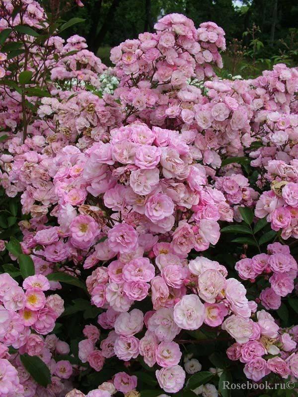 Мускусные розы: советы экспертов