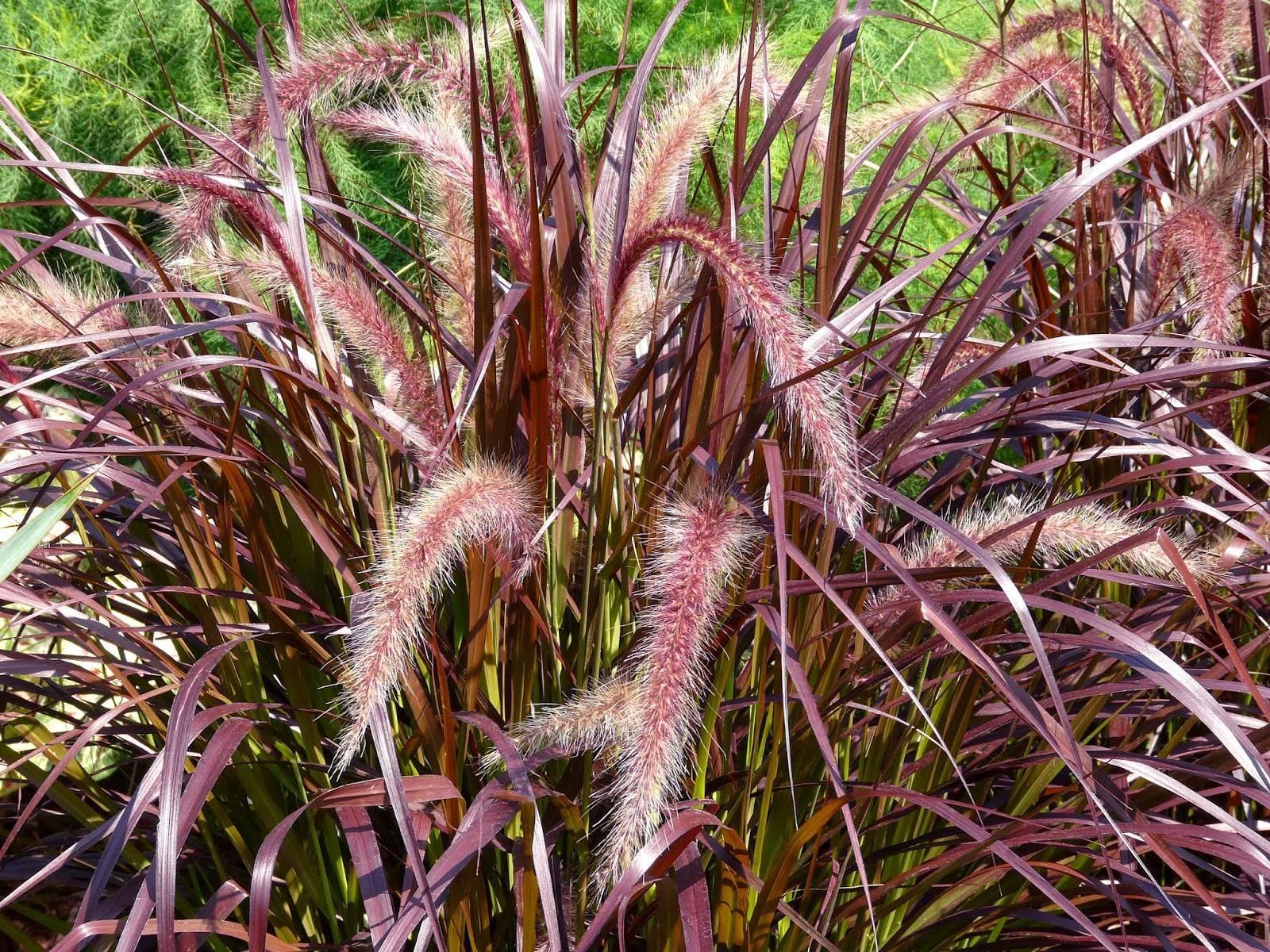 Пеннисетум: виды, выращивание, уход, применение в ландшафтном дизайне - общая информация - 2020