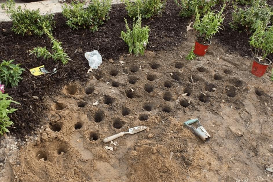 Крокусы: посадка и уход в открытом грунте, полив, подкормка