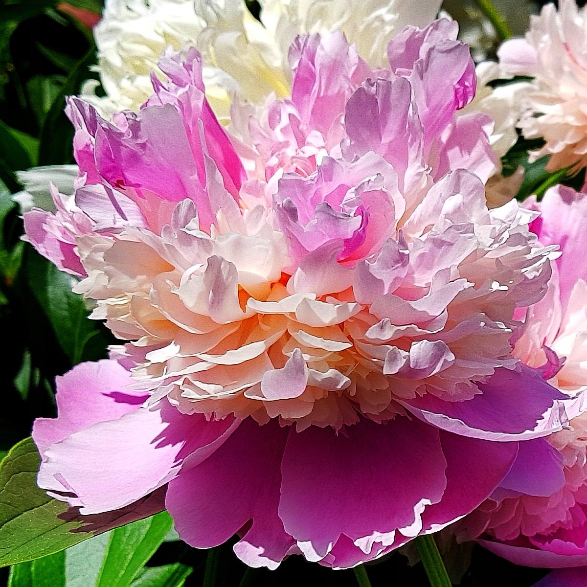 Описание травянистого молочноцветкового пиона сорта корал сансет