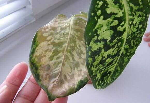 Причины пожелтения листьев диффенбахии
