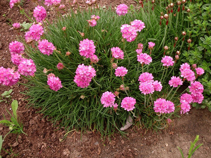 Адонис: выращивание из семян, фото, посадка и уход в открытом грунте