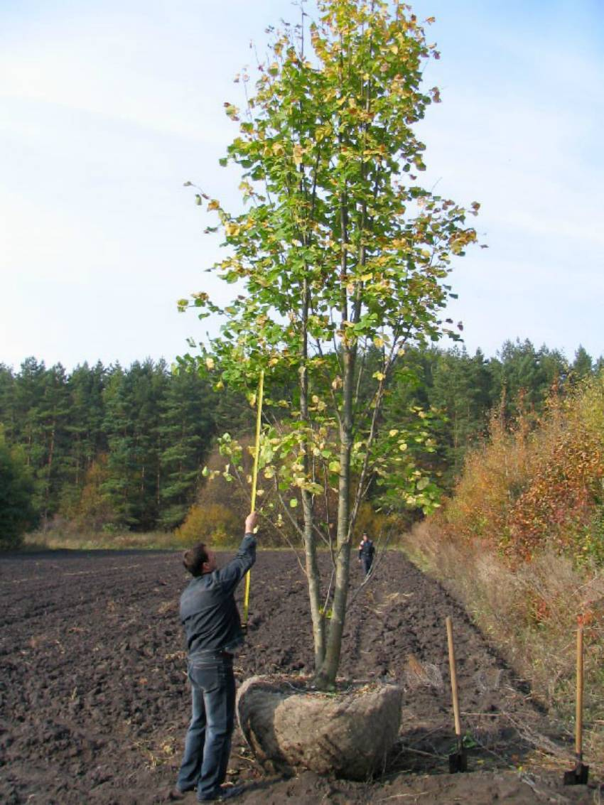 Как вырастить каштан: посадка и уход, болезни и вредители на даче, как сажать и пересадка дерева