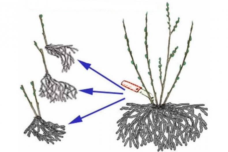 Черенкование гортензии метельчатой: нюансы размножения черенками. как черенковать весной, летом и осенью?