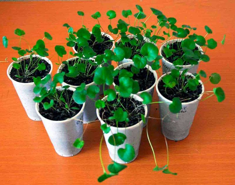 Дихондра: выращивание и уход, как сохранить растение зимой