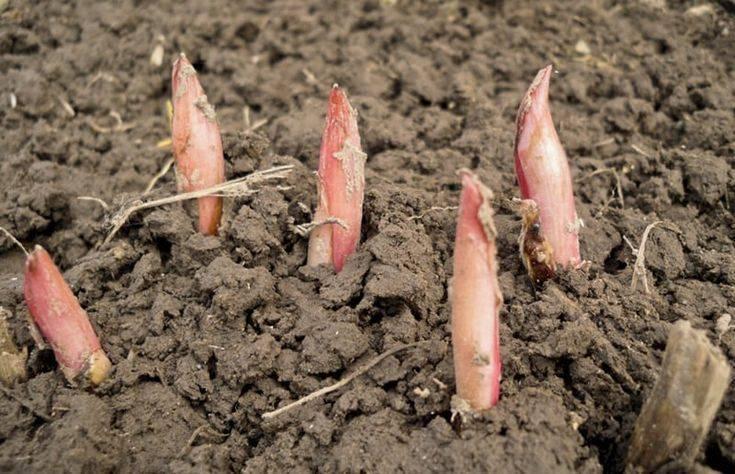 Астильба: выращивание и уход. посадка и размножение астильбы
