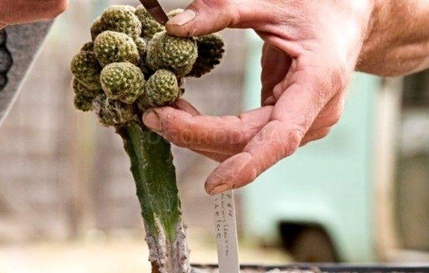 Все о кампсисе: размножение и посадка лианы, уход за растением в открытом грунте