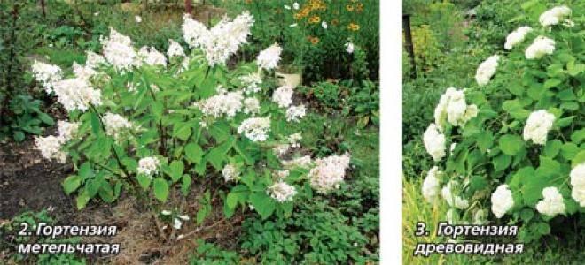 Размножение гортензии весной и летом черенками, делением куста, отпрысками
