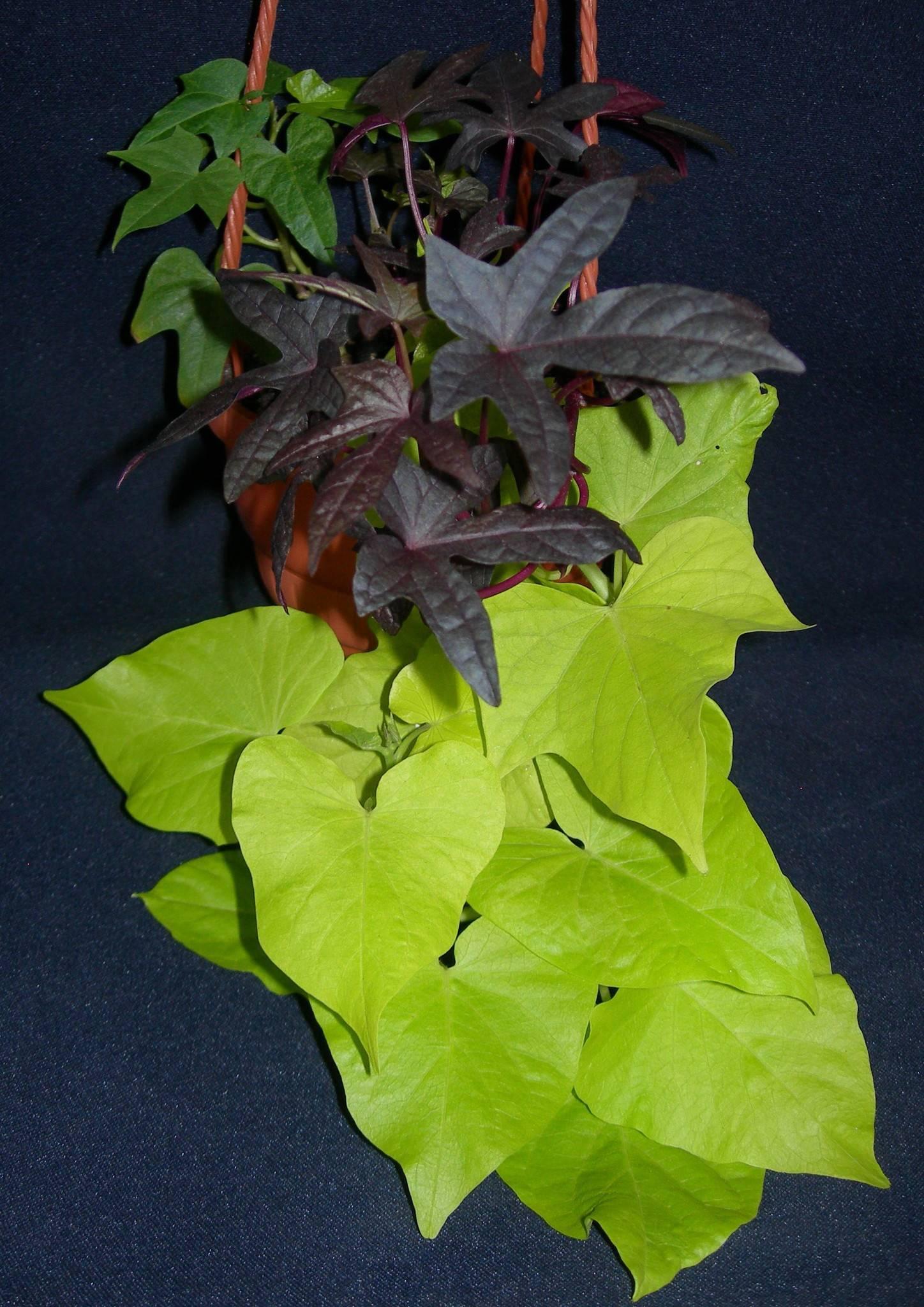 Вьюн цветок — декоративное растение для выращивания в саду