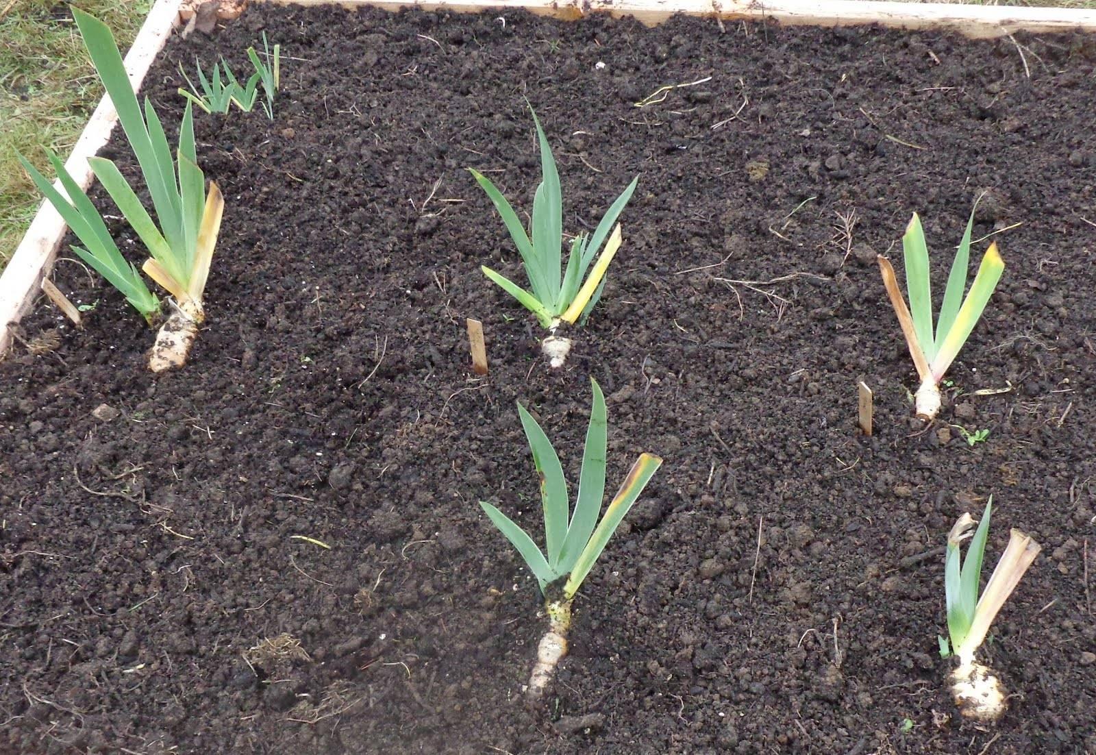 Особенности осенней посадки лилейников