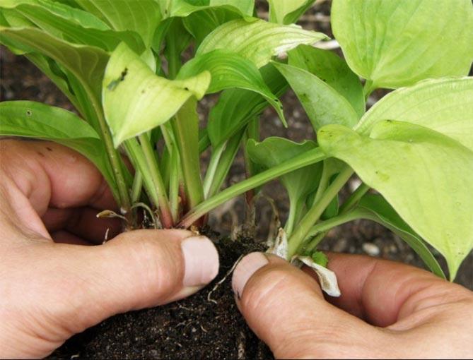 Хоста: размножение, как размножить хосту делением куста, листьями