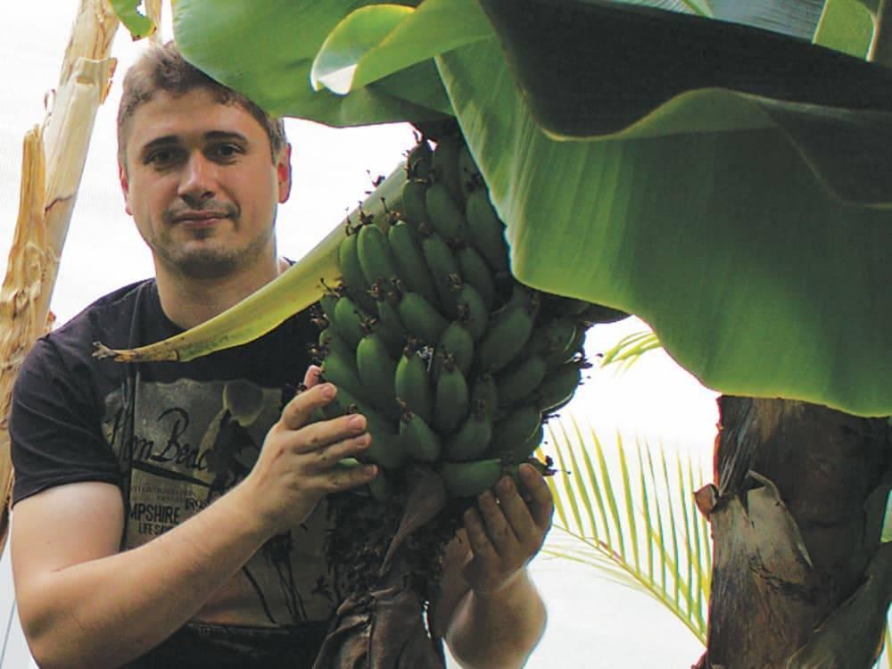 Как выращивают бананы