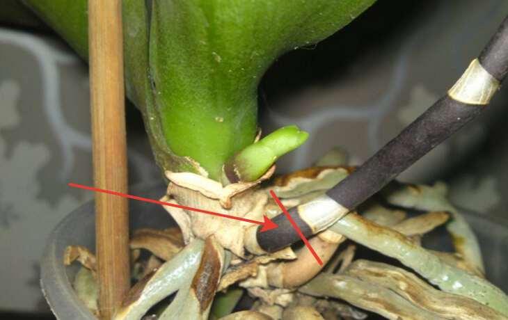 Примеры правильного отделения детки от орхидеи, варианты от ствола и цветоноса