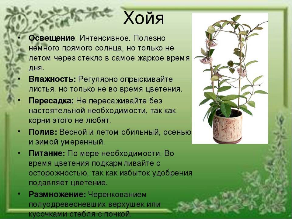 Аглаонема цветок комнатный — виды и цветение