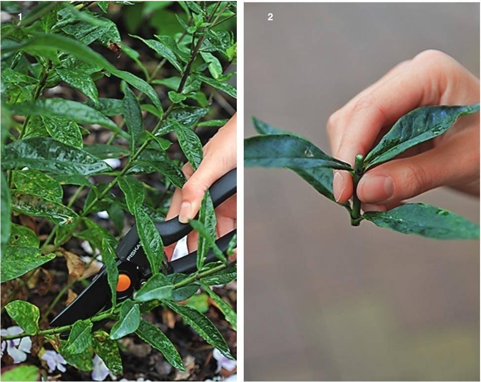 Размножение флоксов черенками: как размножить их летом в июле и августе? пошаговая инструкция черенкования