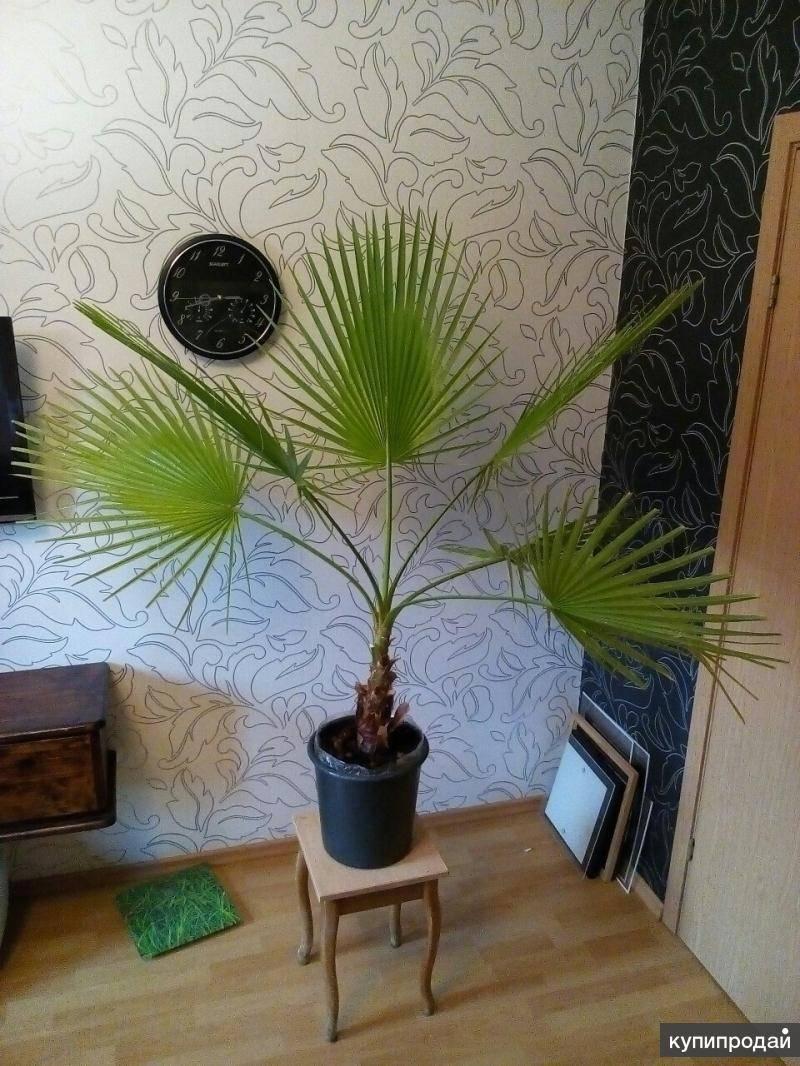 Уход за пальмой в домашних условиях: почему сохнут листья