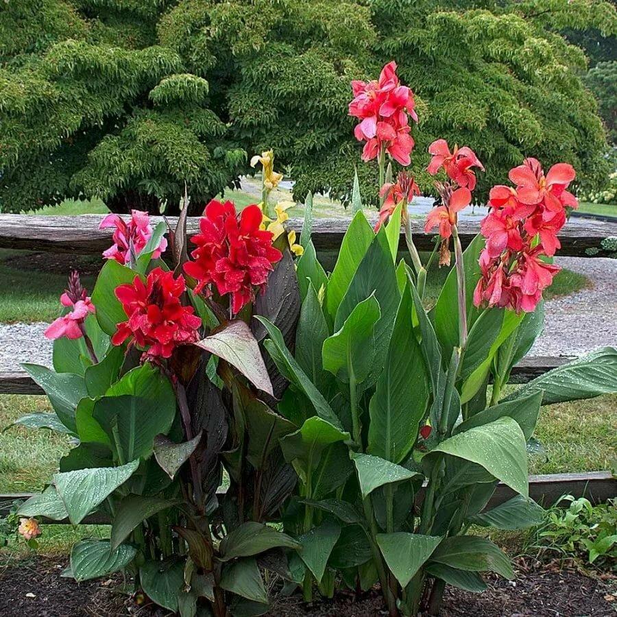 Канна: ботаническое описание, особенности посадки и ухода за цветком
