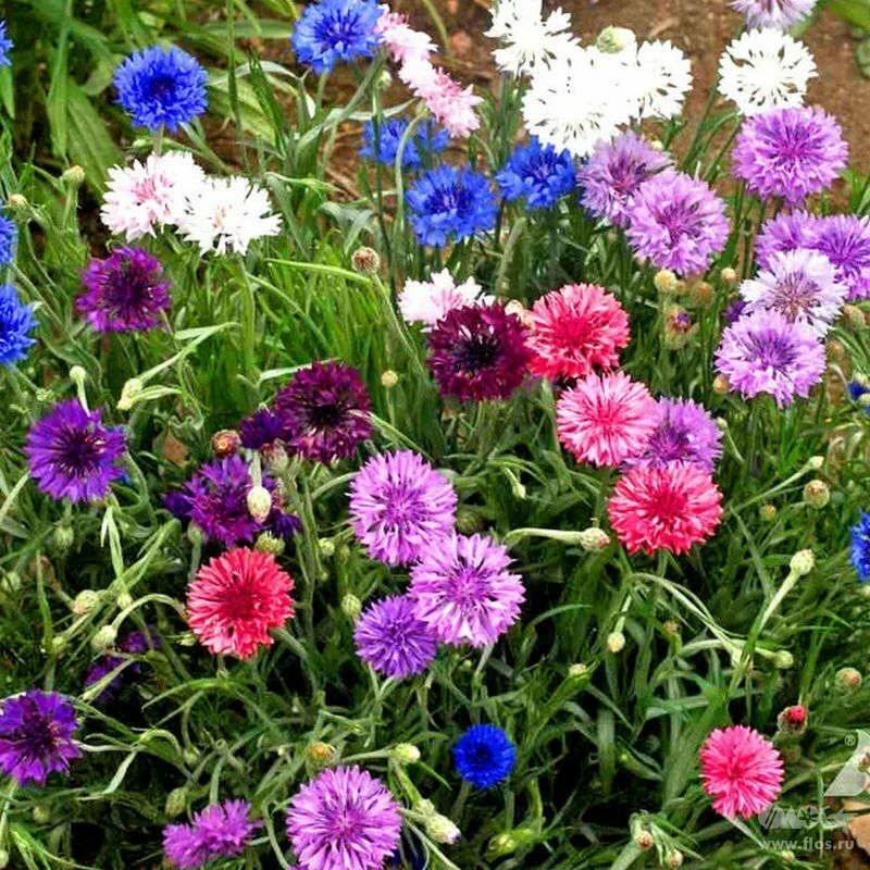 Цветок василек. сорта многолетнего и однолетнего садового василька (фото)
