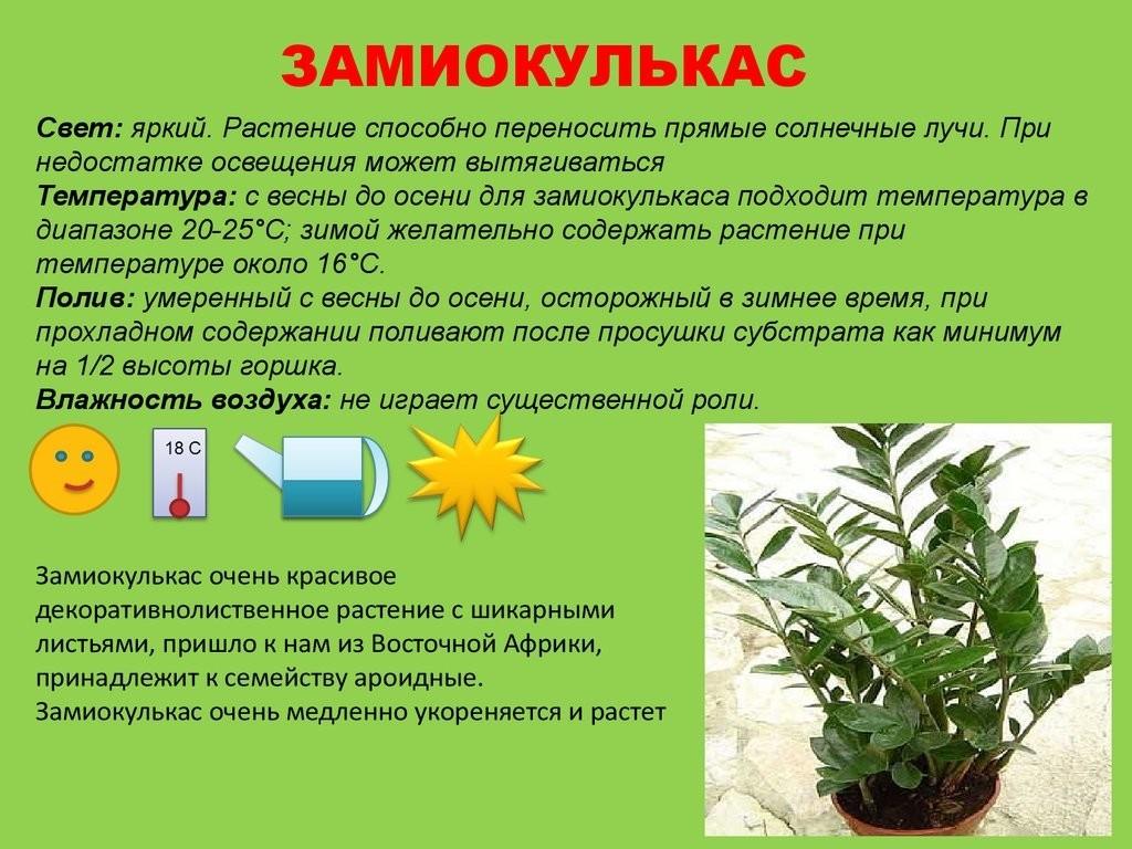 Уход за голубой агавой: это кактус или нет, выращивание и размножение растения