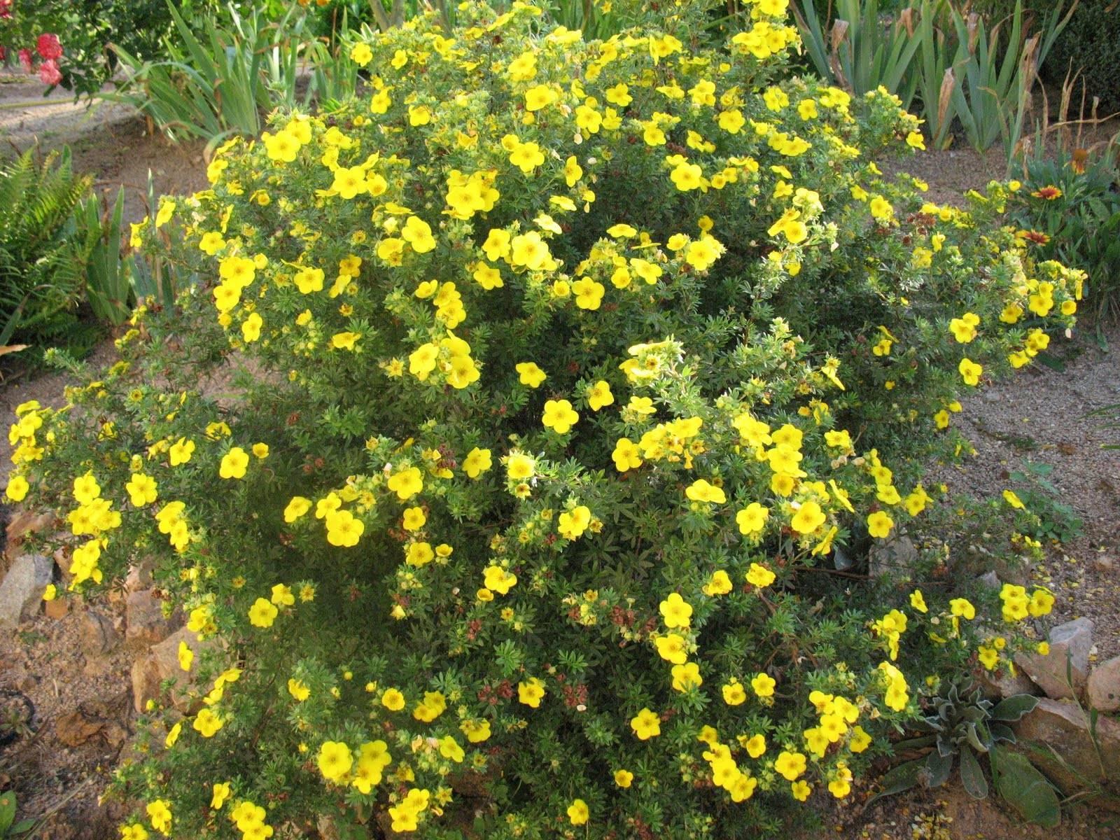 Лапчатка кустарниковая уход и выращивание, кустарник лапчатка жёлтый