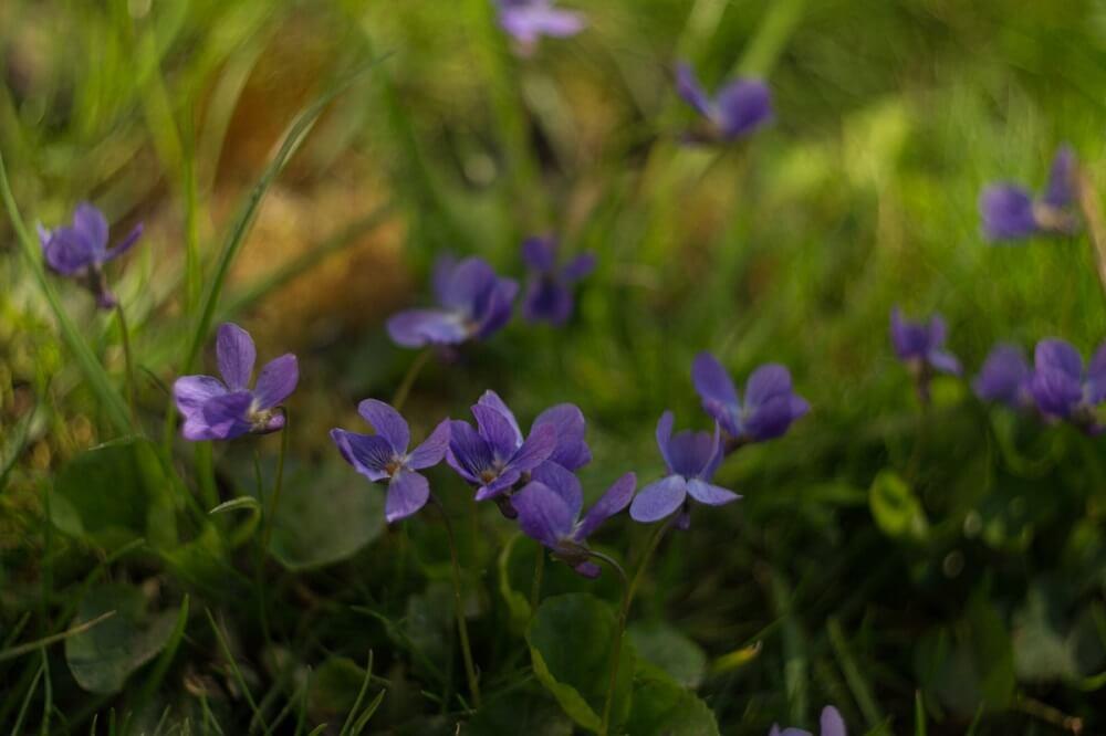 Дикие фиалки: фото и описание фиалок в природе (лесной, полевой, желтой, надрезанной и др.)