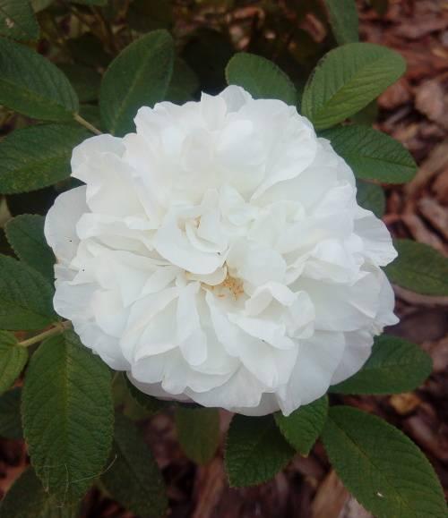 Утонченная красавица роза августа луиза: описание сорта и фото цветка, особенности выращивания и другие нюансы