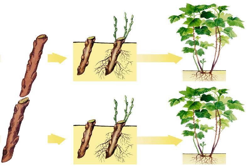 Как выращивать очиток в грунте и контейнере – все о посадке и уходе