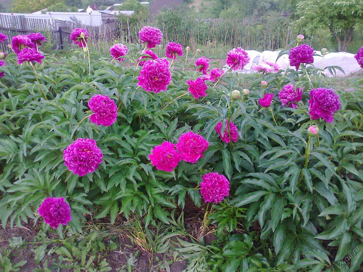 Все о травянистом молочноцветковом пионе пинк гавайан корал: характеристики сорта
