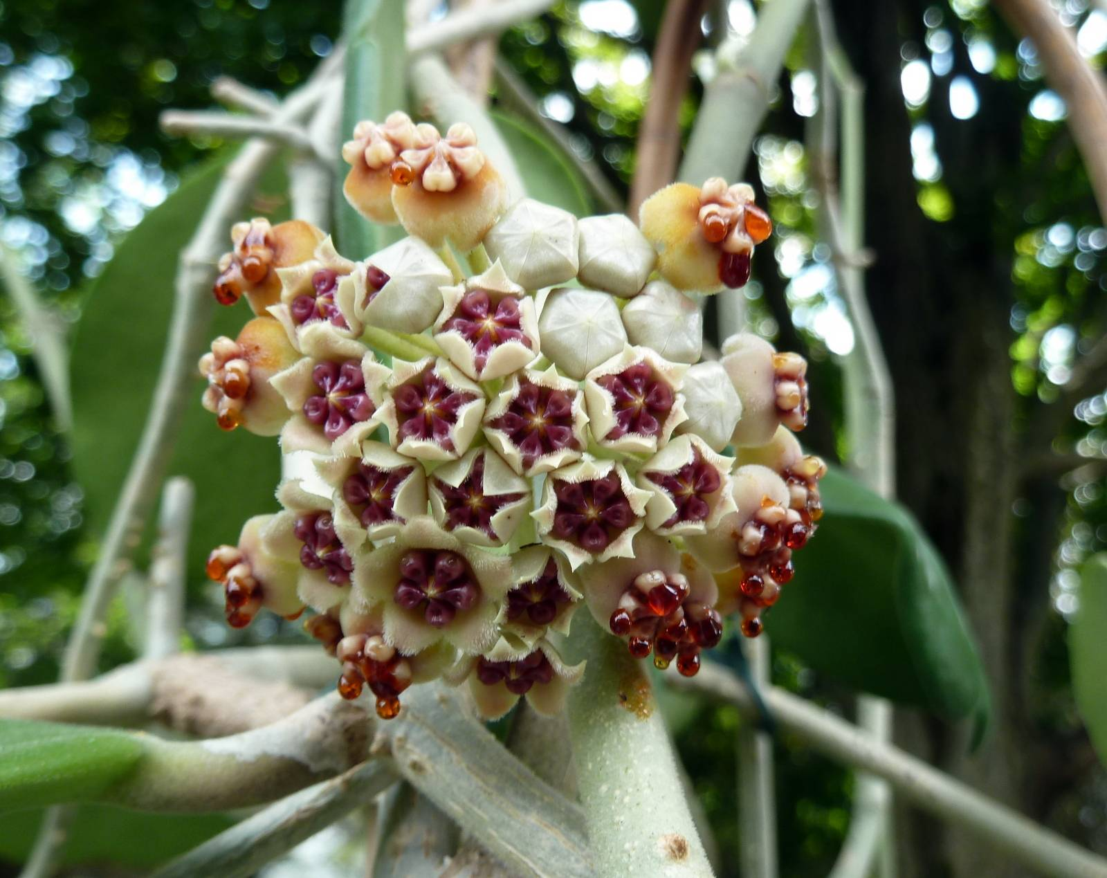 Виды хойи и особенности разных сортов, фото цветущих растений