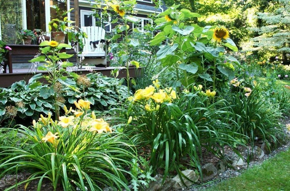 Почему не цветет лилейник? что делать, если лилейники перестали цвести в саду? как заставить их цвести после пересадки?