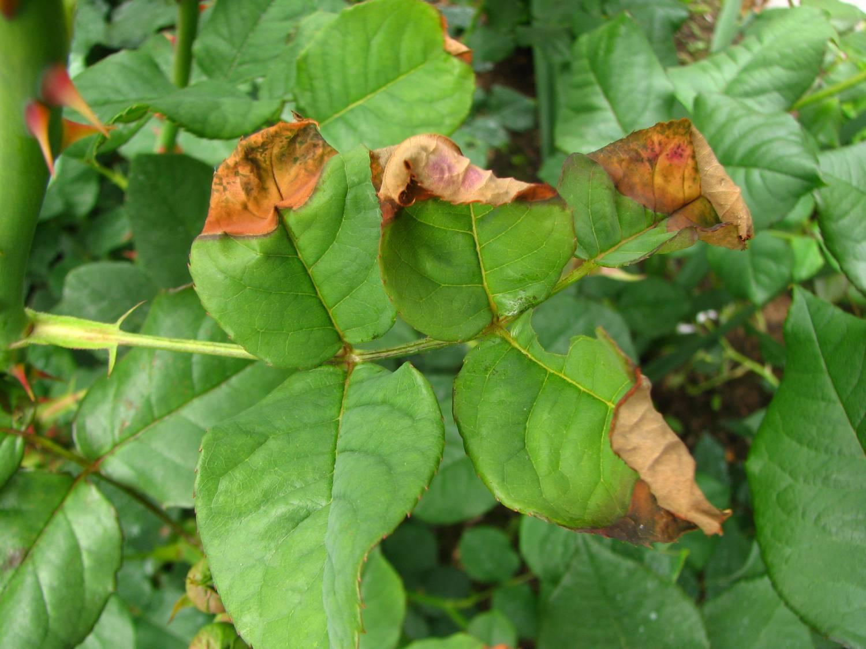 Вредители роз и борьба с ними. как предотвратить гибель цветов