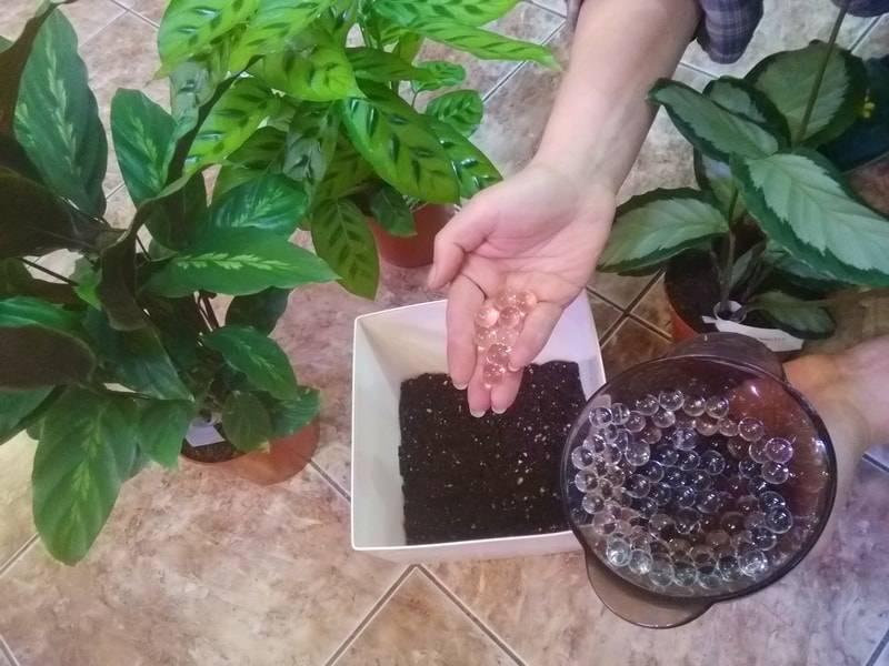 Как ухаживать за калатеей в домашних условиях, вредители комнатного цветка