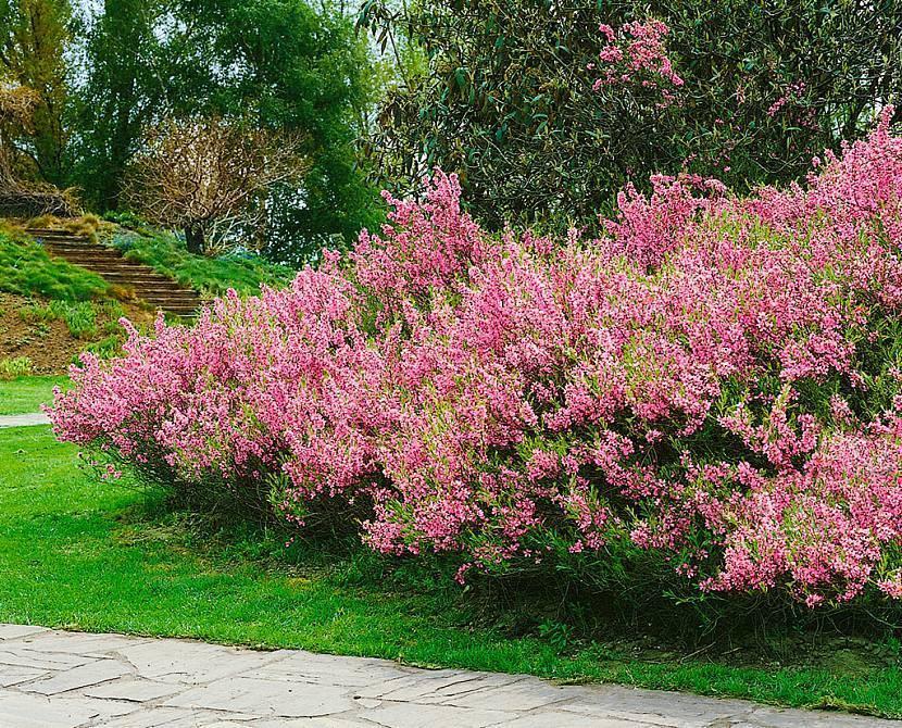 Декоративно-цветущие многолетние кустарники для сада
